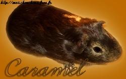 Caramel Décédée, rongeur Cochon d'Inde