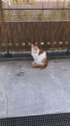 Caramel, chat Européen