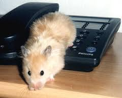 Caramel , rongeur Hamster
