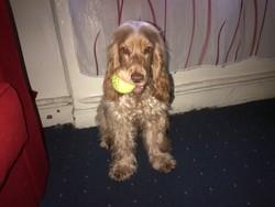 Caramel, chien Cocker anglais