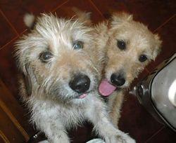 Caramel, chien Griffon nivernais