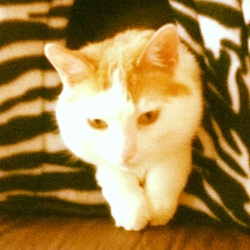 Caramel, chat Turkish Van