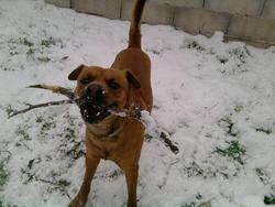 Caramel, chien