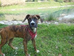 Caramel, chien Boxer