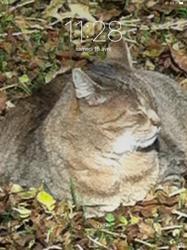 Caramel Actuellement Au Paradie, chat Gouttière
