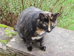Caramella, chat Gouttière
