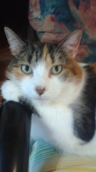 Caramelle, chat Manx