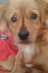 Caramelle, chien Golden Retriever