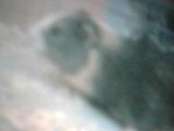 Caramelle, rongeur Cochon d'Inde