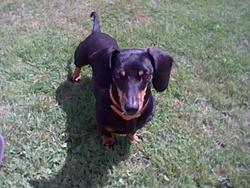 Caramelle, chien Teckel