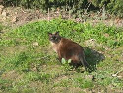 Caramelle, chat Balinais