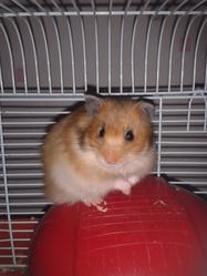 Caramelle, rongeur Hamster