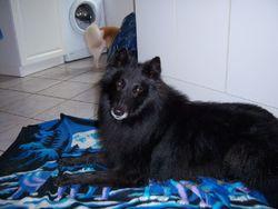 Carbone, chien Berger belge