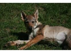 Carbonne, chien Chien-loup tchèque