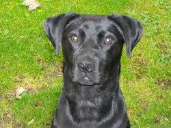 Carbonne, chien Labrador Retriever