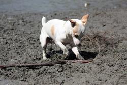 Carbu, chien Jack Russell Terrier
