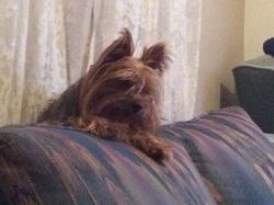 Caresse, chien Yorkshire Terrier