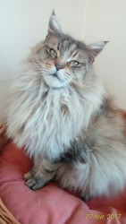 Carisma Of Koi Pond, chat Maine Coon