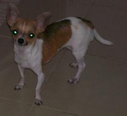 Carla , chien Chihuahua