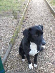 Carla, chien Border Collie