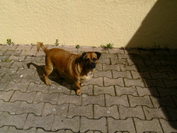 Carlito, chien Carlin
