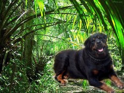Carlos, chien Rottweiler