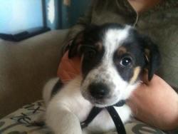 Carlos, chien Border Collie