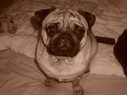 Carlos, chien Carlin