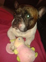 Carlos, chien Bouledogue français