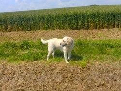 Carmel, chien Labrador Retriever