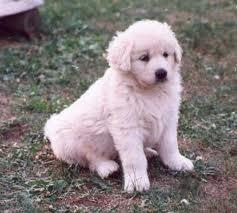 Caroline, chien Slovensky cuvac