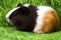 Carotte, rongeur Cochon d'Inde