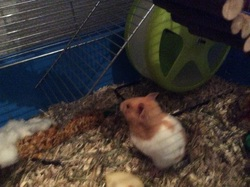 Carotte, rongeur Hamster
