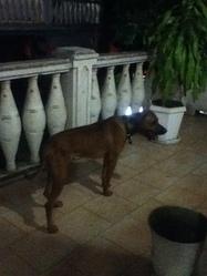 Carter-Bidiet, chien Rhodesian Ridgeback