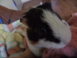 Carter, rongeur Cochon d'Inde