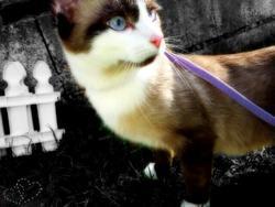 Cartouche, chat Siamois