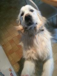 Cartouche, chien Golden Retriever