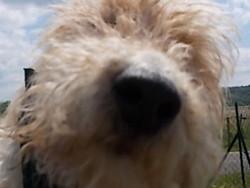 Cartouche, chien Fox-Terrier