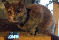 Cartouche, chat Bleu russe