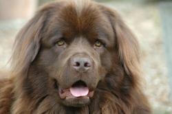 Cartouche, chien Terre-Neuve