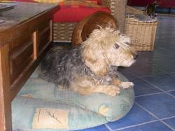 Caruso, chien Basset fauve de Bretagne
