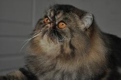 Caruso De Ker-Minet, chat Persan
