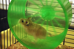 Cary, rongeur Hamster