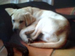 Cash, chien Labrador Retriever