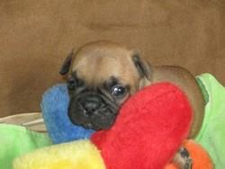 Cash, chien Bouledogue français