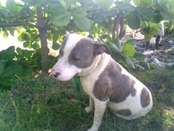Cash Money, chien American Staffordshire Terrier