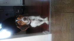 Cashew, chien Beagle