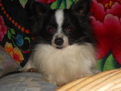 Casimir, chien Chihuahua