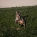 Casimir, chat Européen