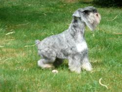 Casimir De La Haute Gye, chien Schnauzer
